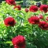 Bozhure (lule gjaku), bima që qetëson dhimbjen, stimulon qarkullimin e gjakut dhe ul temperaturën e lartë