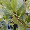 Kjo gjethe e vetme parandalon sëmundjet e zemrës, diabetin dhe lehtëson dhimbjet e gjymtyrëve