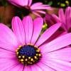 Lulja që ju shpëton nga ftohja dhe infeksionet urinare brenda 24 orëve