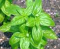 borzilok ocinum spp